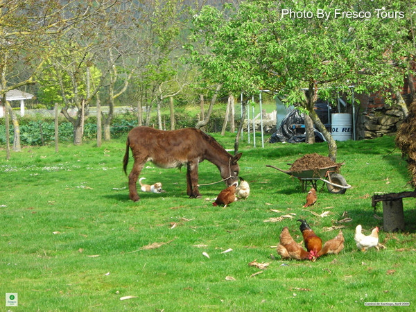 donkey and chickens