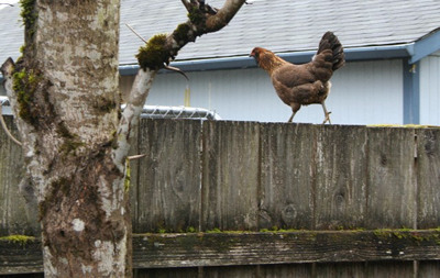 rogue chicken on fence