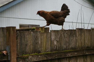 chicken walking on fence