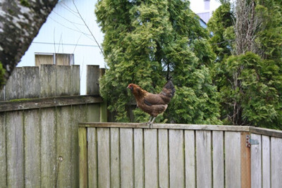 chicken escaping from neighbours garden